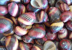 25 Zigzag Nerite Seashells - Neritina Communis