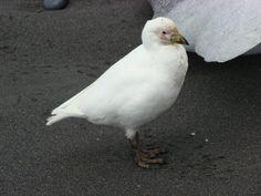 Snowy Sheathbill (Chionis albus)  feet are NOT webbed.