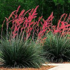 parviflora - Texas Red Yucca Texas Red Yucca Hesperaloe parviflora 25 desert by SmartSeeds Designing with Native Plants Dimianita, Wheeler Sotol, Mountain Laurel Hiking in a field of Lady's glove! So peaceful sound on! Texas Landscaping, Landscaping Supplies, Landscaping Plants, Front Yard Landscaping, Landscaping Ideas, Landscaping Software, Luxury Landscaping, Dessert Landscaping, Landscaping Contractors