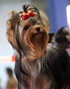 Yorkshire Terrier | Domaine d'Elly Yorkshire Terriers #yorkshireterrier