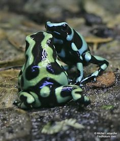 Dendrobates tinctorius also known by the common name Dyeing Dart Frog, is a species of Poison dart frog. It is the third largest species, reaching lengths of 5cm . This species is distributed throughout the eastern portion of the Guiana Shield, including parts of Guyana, Suriname, Brazil, and nearly all of French Guiana. Like most species of the genus Dendrobates, D. tinctorius is a mildly toxic species of poison dart frog.