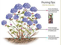 Hydrangea Pruning Tips - Gartenpflege Hortensia Hydrangea, Hydrangea Care, Hydrangea Bush, Growing Hydrangea, Hydrangea Potted, Limelight Hydrangea, Hydrangea Color Change, White Hydrangea Garden, Exotic Flowers