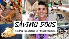 Saving Dogs at Soi Dog Foundation I have always been passionate about saving dogs and cats, helping any way I can and fully believe they should be treated with love and affection. Unfortunately, many people in the world do not share these sentiments which leads to neglect, abuse and sometimes even torture and other extremely unacceptable actions by humans. Thankfully, organizations like the Soi Dog Foundation in Phuket Thailand exist.