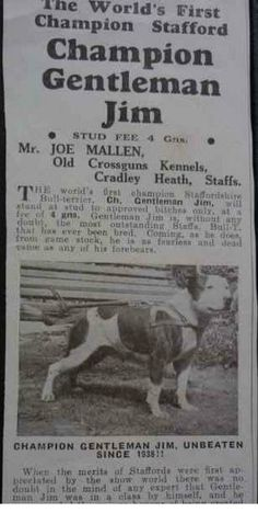 Staffordshire Bull Terrier. The best of the breed. CH Gentleman Jim