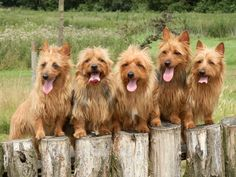 Australian Terrier Puppies For Sale
