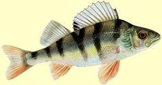 perche commune poisson
