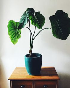 Houseplants for Better Sleep Philodendron pastazanum Hanging Plants, Potted Plants, Garden Plants, Indoor Plants, Hydroponic Gardening, Hydroponics, Indoor Gardening, Ficus, Belle Plante