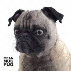 """Don't mess with me. I'm warning you."" -Ozzy #pugsofVine #dogsofvine #pug #puglife #dog"