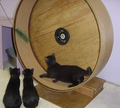 Get Motivated: 6 Hilarious Videos Of Cats On Exercise Wheels New Year, new mew! Check out these six funny videos of cats getting in shape for the New Year with a little help from their exercise wheels. Kittens Cutest, Cats And Kittens, Cute Cats, Funny Cats, Kitty Cats, Funny Animals, Cat Exercise Wheel, Cat Hacks, Exotic Cats
