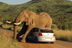7. August 2014. Dieser Juckreiz! Ein Glück für diesen Elefanten in Südafrika, dass gerade ein Kleinwagen zum Schubbern in der Nähe war...