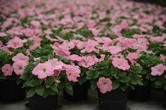 Potunia Pink  Copyright © FLORPAGANO di A. Pagano - Ruvo di Puglia (Ba) www.florpagano.com