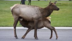 Sometimes, nature comes to town -- elk in Mammoth village, Yellowstone National Park