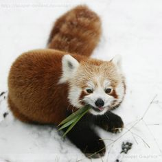 """""""Yea, Joe's gonna be surprised when he realizes that I took his car keys"""".......said the red panda"""
