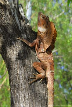 Image detail for -Frilled - or Frillneck Lizard (Clamydosaurus kingii), Darwin, Northern Territory, Australia Darwin Australia, Australia Animals, Darwin Nt, Living In Adelaide, Australian Continent, Salamanders, Reptiles And Amphibians, Cute Animal Pictures, Snakes