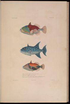 Zoologie, atlas, t. 1 - Voyage autour du monde : - Biodiversity Heritage Library - three fish