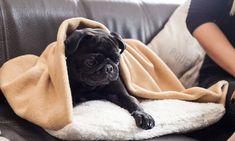 mops_preis French Bulldog, Animals, Random, Sleeping Bags, Pug, Animales, Animaux, French Bulldog Shedding, Bulldog Frances