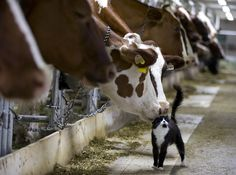 cat and cow