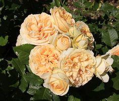 Роза кустарниковая Женевьев Орси (Genevieve Orsi) Jackson&Perkins Посадка 2011 года