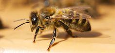 Sauvons les abeilles - OMPE - Organisation Mondiale pour la Protection de l'Environnement - http://www.ompe.org/actions-ompe/sauvons-les-abeilles/