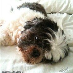 良く寝る! Sleepy Pepper #shihtzu #dog #philippines