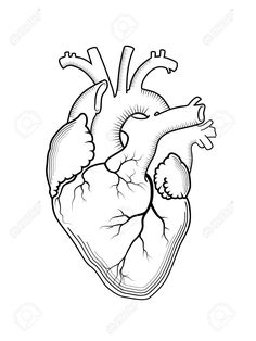 Illustration of Heart. The internal human organ, Anatomical structure. vector art, clipart and stock vectors. Human Heart Outline, Human Heart Drawing, Heart Outline Tattoo, Heart Structure, Human Anatomy Art, Dark Art Tattoo, Engraving Printing, Heart Illustration, Heart Template