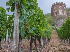 Snapshots from Germany's Wine Country: Mosel, Nahe, and Rheinhessen -Riesling Grapes!