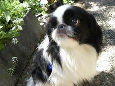 Mikki is an adoptable Japanese Chin Dog in Seattle, WA. Mikki is a handsome young four to five year old neutered male. He is truly wonderful: he loves his person, his foster siblings, children and cat...