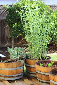 I repurpose tomato cages in the winter to hold up pea plants in my wine barrel garden. See how tall and happy they are?