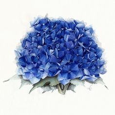 Image of Blue hydrangea