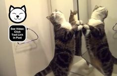 Maru is starting with the cat in the mirror!  http://www.catvideooftheweek.com/videos/view/249  #CVOTW
