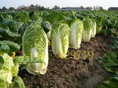 500 seeds CABBAGE Chinese cabbage  NO-GMO  Vegetable seeds Bok Choy  Brassica Pekinensis Plants for home garden