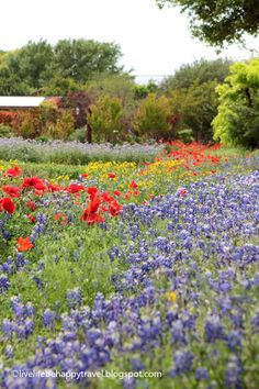Wildseed Farms – Fredericksburg -Texas – TX - Bluebonnets – Wildflowers – things to do – tourist attractions