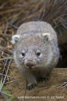 Smiling Animals, Cute Animals, Wombat Pictures, Reptiles, Mammals, Common Wombat, The Wombats, Australia Animals, Quokka