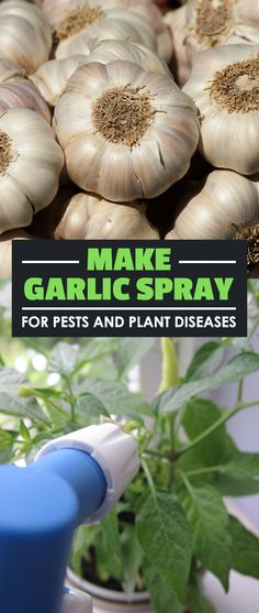 Garlic spray is one of the cheapest and most eco-friendly way to treat pests and plant diseases. Learn how to make your own garlic spray at home. via @epicgardening