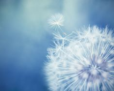 Dandelion photography nature 8x10 8x12 dandelion by mylittlepixels