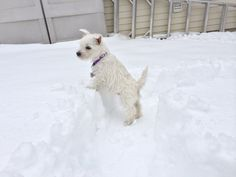 Westies loove the snow!!   They really do