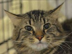 NYC ** Shy Beautiful Girl **  TO BE DESTROYED 02/27/15 BABYBLUE is stressed in the shelter environment and does not currently tolerate petting. The behavior department feels that placement with a New Hope Partner is the best option at this time. ID #A1028650. Female brn tabby & white about 2 YEARS OWNER SUR reason stated was ALLERGIES.  https://www.facebook.com/nycurgentcats/photos/a.961414893876498.1073742606.220724831278845/961415003876487/?type=3&theater
