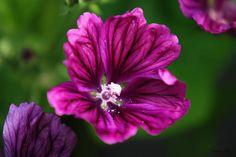 Purple Hollyhock #Flower #Art #Prints by Christina Rollo