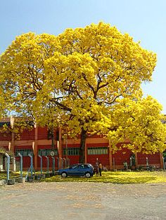 arbol corteza amarilla Tabebuia ochracea - Costa rica