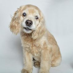 Adopted! Moira - *Blind* - Cocker Spaniel - Burbank, CA. 5 yrs old
