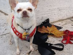 Teyla in Golden Gate Park #SF #chihuahua #chi by pcnotpc, via Flickr