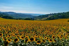 The Regional Natural Park of #Conero is an oasis of serenity and a place of rare beauty, situated in the #Marche region. There is everything: #sea, #nature, #sunflowers, #birds and #hills! Credits Fabio Fiori #destinazioneconero