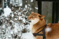 <b>Part bear?</b> Part fox? All love? SHIBA, PLEASE.