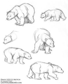 Daily Animal Sketch – Polar Bear Warm ups – Last of the Polar Bears
