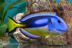 Video of the yellow belly blue tang shows off this perfect veteran aquarium fish | blue tang, indian ocean, paracanthurus, paracanthurus hepatus, regal blue tang, yellow belly blue tang | News| Reef Builders
