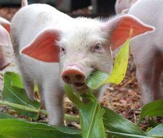 7 Ways Pigs Are Cooler Than Dogs - ChooseVeg.com