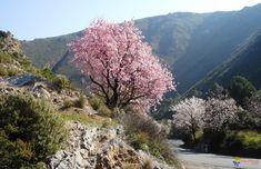 Prunus dulcis (amandier) aux fleurs roses par Anandhyana