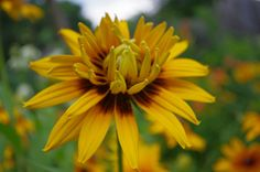 double-flowering rudbeckia