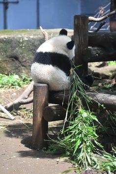 シャンたん来月の七夕用の笹持ってるの? Big Panda, Panda Love, Cute Panda, Cute Animal Memes, Cute Funny Animals, Baby Animals Pictures, Animals And Pets, Panda's Dream, Cute Little Things