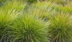 How to plant ornamental grasses for a winter wonderland garden